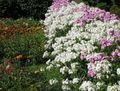 Buy online white Garden Flowers Annual Phlox, Drummond's Phlox / Phlox drummondii Photo