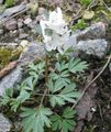 Photo Corydalis description