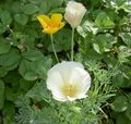 Photo California Poppy description