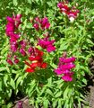 Buy online red Garden Flowers Snapdragon, Weasel's Snout / Antirrhinum Photo
