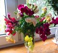 Buy online white Garden Flowers Snapdragon, Weasel's Snout / Antirrhinum Photo
