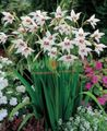 Photo Abyssinian Gladiolus, Peacock Orchid, Fragrant Gladiolus, Sword Lily description