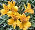 Photo Alstroemeria, Peruvian Lily, Lily of the Incas description