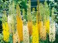Photo Foxtail Lily, Desert Candle description