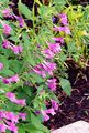 Buy online pink Garden Flowers Lesser calamint / Calamintha Photo
