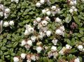 Buy online white Garden Flowers Arcterica / Arcterica nana, Makino Photo