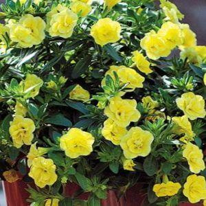 kaufen online gelb gartenblumen calibrachoa millionen. Black Bedroom Furniture Sets. Home Design Ideas