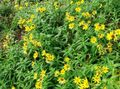 Buy online yellow Garden Flowers Arnica / Arnica sachalinensis Photo
