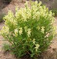 Photo Astragalus description