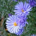 Buy online light blue Garden Flowers Aster Photo