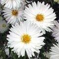 Buy online white Garden Flowers Aster Photo