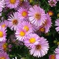 Buy online pink Garden Flowers Aster Photo