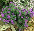 Photo New England aster description