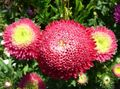 Buy online red Garden Flowers China Aster / Callistephus chinensis Photo