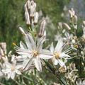 Buy online white Garden Flowers White Asphodel / Asphodelus Photo