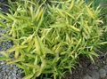 Buy online yellow Ornamental Plants Dwarf White-Stripe bamboo, Kamuro-zasa cereals / Pleioblastus Photo
