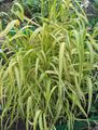 Buy online yellow Ornamental Plants Bowles Golden Grass, Golden Millet Grass, Golden Wood Millet cereals / Milium effusum Photo