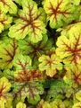 Photo Heucherella, Foamy Bells Leafy Ornamentals description