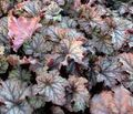 Buy online multicolor Ornamental Plants Heuchera, Coral flower, Coral Bells, Alumroot leafy ornamentals Photo