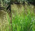 Photo Striped Manna Grass, Reed Manna Grass Aquatic Plants description