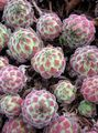 Photo Joubarbe Les Plantes Succulents la description