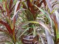Photo Chinese fountain grass, Pennisetum Cereals description