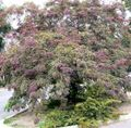 Buy online burgundy Ornamental Plants Honey locust / Gleditsia Photo