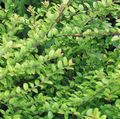 Buy online green Ornamental Plants Shrubby honeysuckle, Box Honeysuckle, Boxleaf Honeysuckle / Lonicera nitida Photo