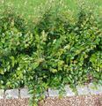 Photo Hedge Cotoneaster, European Cotoneaster description