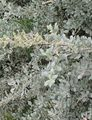 Photo Sea Orache, Mediterranean Saltbush description