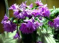 Buy online lilac Indoor Plants Easter Cactus / Rhipsalidopsis Photo