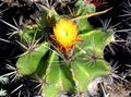 Buy online yellow Indoor Plants Ferocactus Photo