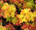 Photo Sedum Les Plantes Succulents la description