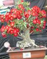 Buy online red Indoor Plants Desert Rose succulent / Adenium Photo