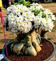Buy online white Indoor Plants Desert Rose succulent / Adenium Photo