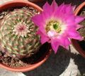 Photo Astrophytum Desert Cactus description