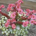 Photo House Leek Succulent description