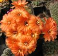 Buy online orange Indoor Plants Peanut Cactus / Chamaecereus Photo