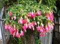 Photo Fuchsia Shrub description