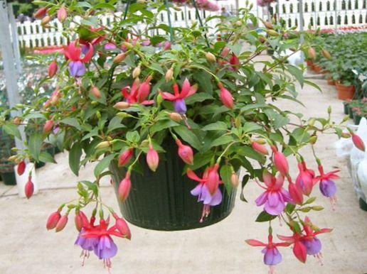 stueplante med voks blomster