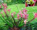 Photo Kangaroo paw Herbaceous Plant description