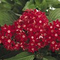 Photo Pentas, Star Flower, Star Cluster Herbaceous Plant description