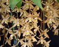 Photo Coelogyne Herbaceous Plant description