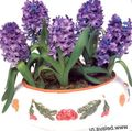Buy online purple Indoor Plants, House Flowers Hyacinth herbaceous plant / Hyacinthus Photo