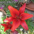 Photo Lilium Herbaceous Plant description