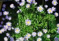 Buy online light blue Indoor Plants, House Flowers Blue Daisy herbaceous plant / Felicia amelloides Photo