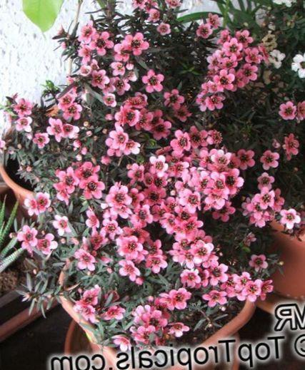 buy online pink indoor plants house flowers new zealand tea tree shrub leptospermum photo. Black Bedroom Furniture Sets. Home Design Ideas