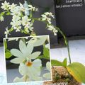 Photo Calanthe Herbaceous Plant description