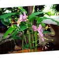Photo Dancing Lady Herbaceous Plant description