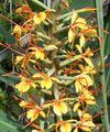 Photo Hedychium, Papillon Gingembre Herbeux la description